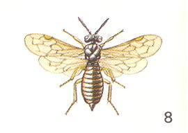 Blasticotomidae #