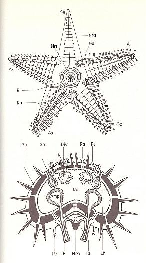 Starfish Skeletal System