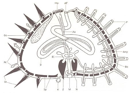 Sea Urchin Diagram